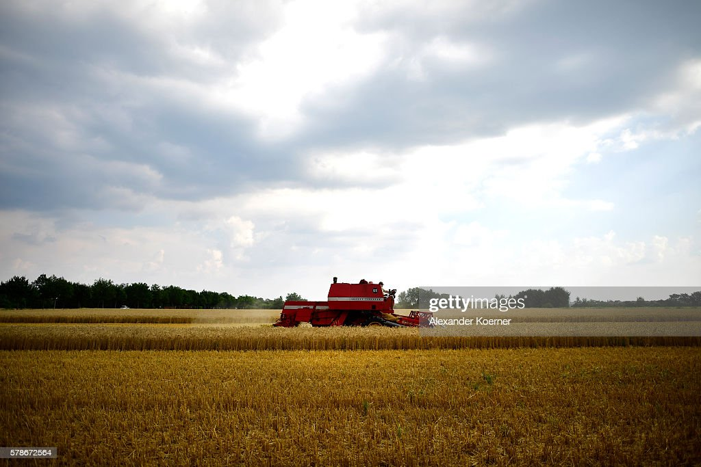 A farmer drives his tractor while harvesting summer wheat on July 21 2016 near Neustadt am Rubenberge Germany According to local farmers the water...