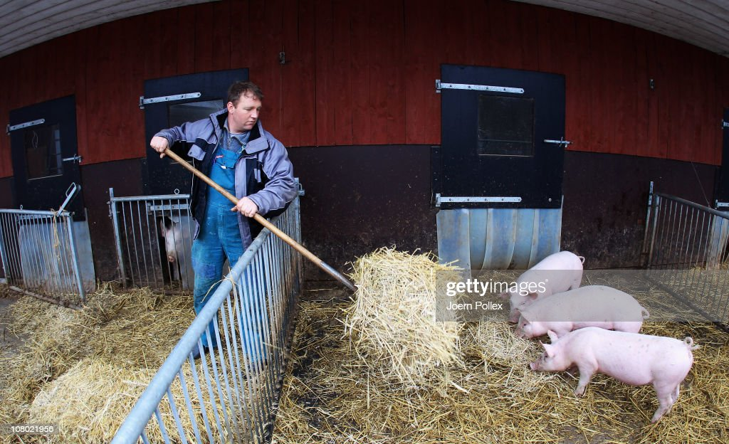 Farmer Ebsen works in the pen of the pigs at the Ebsen organic farm on January 13, 2011 in Langenhorn, Germany. Organic foods retailers are reporting a surge in demand following the recent dioxin contamination scandal sparked by the announcement by the German company Harles and Jentzsch that some of the fatty proteins it had supplied to animals feeds producers was tainted with dioxin. German authorities responded by barring 4,700 mostly poultry and hog farms from selling their products until laboratory tests could guarantee them dioxin free. Investigators are meanwhile pursuing a criminal investigation against the leading employees at Harles and Jentzsch. Organic farms have thus far been immune from the scandal since they use no industrially-produced animal feed.