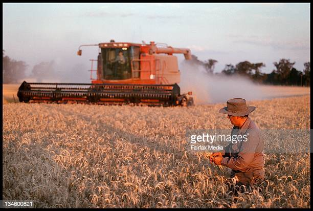 A farmer examines his wheat crop New South Wales 13 December 1999