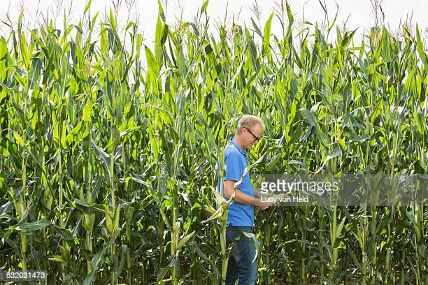 Farmer examining corn growing in crop field