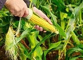 Farmer Examining Crop of Corn.