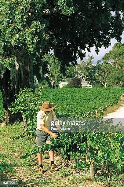 Farmer Examining his Vineyard