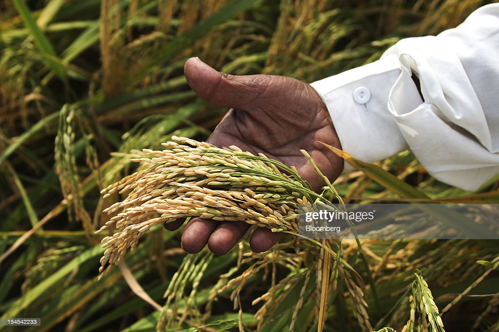 Farmer Farahat Hussain checks his rice before harvest in a paddy field in the Chiniot district of Punjab province, Pakistan, on Saturday, Oct. 13, 2012. Rice exports from Pakistan, the fourth-largest shipper, are set to rebound from November with the new harvest after a rally in domestic prices and cheaper supplies from India cut shipments, a traders' group said. Photographer: Asad Zaidi/Bloomberg via Getty Images