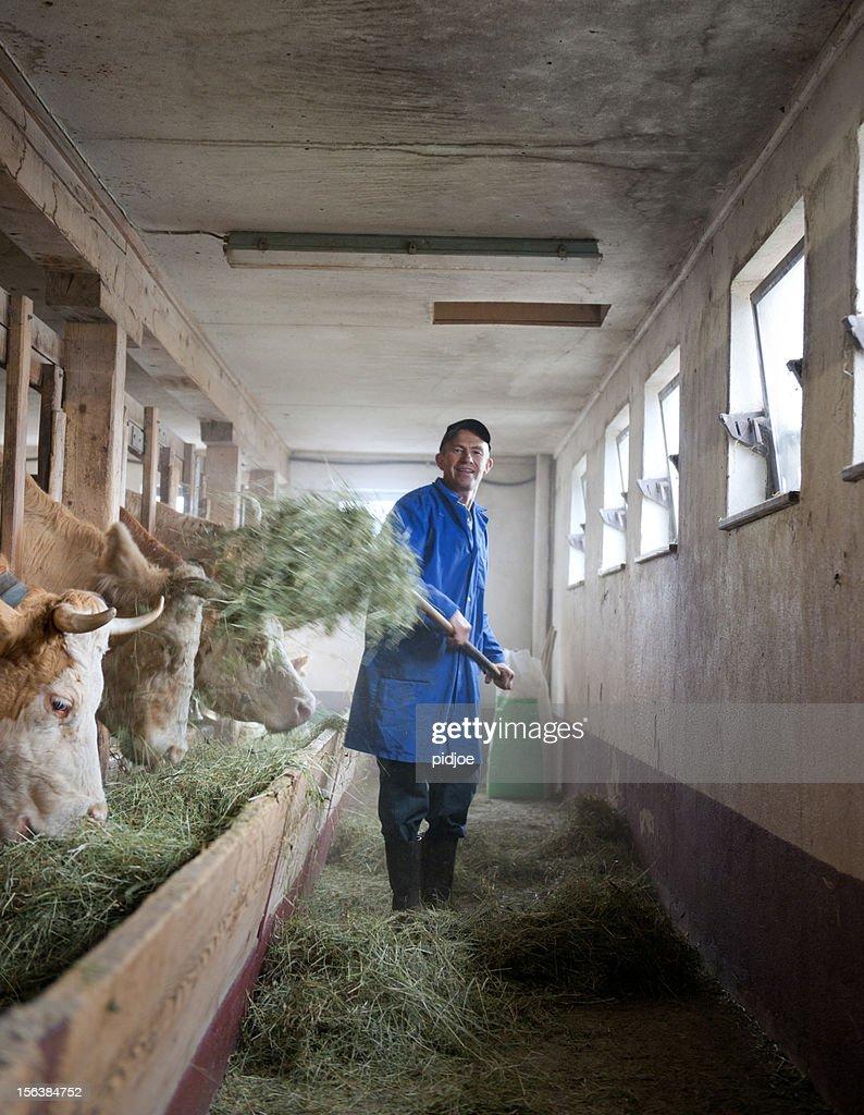 farmer feeding cows in barn : Stock Photo