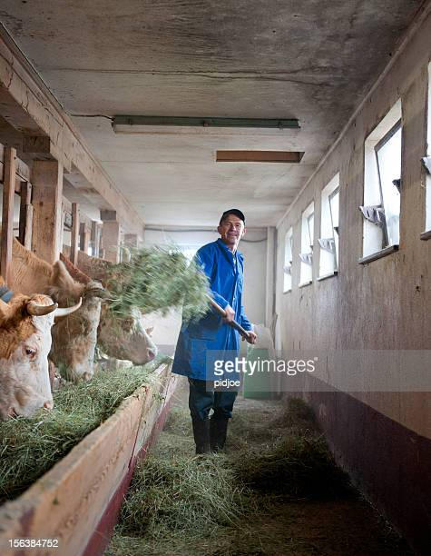 farmer feeding cows in barn