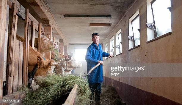 farmer Fütterung Kühe im Stall