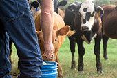 Farmer Feeding His Baby Cows from a Blue Bucket