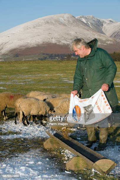 Farmer feeding ram lambs in troughs with concentrates from plastic feed bag Keswick Cumbria