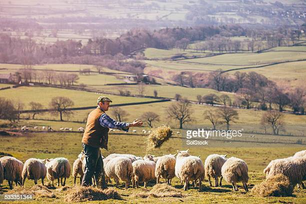 Farmer Feeding the Sheep