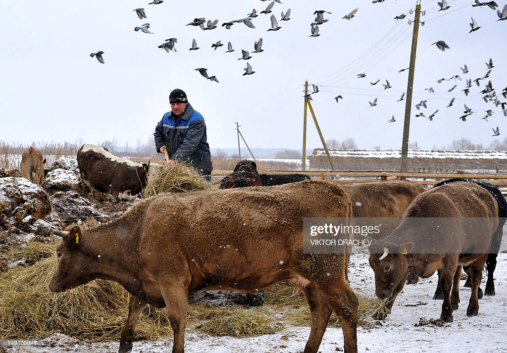 A farmer feeds cows in a municipal farm in the village of Pererov, some 270 kms south of Minsk, Belarus, on January 8, 2013.