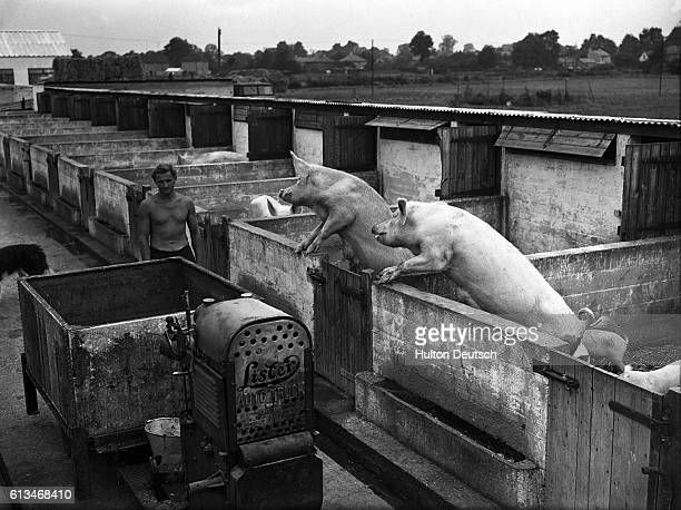 A farmer feeds his large white sows and piglets by following a trailer and minitractor in the aisles between pens