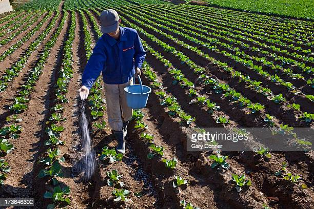 Farmer fertilizes cabbage plants