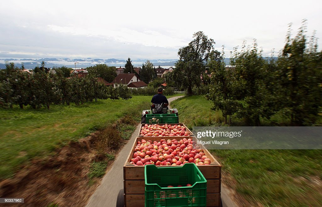 Farmer Franz Krammer drives fresh apples towards his refrigerated containerduring the apple harvest next to the lake Constance on September 4, 2009 in Lindau, Germany. The lake is situated in Germany, Switzerland and Austria near the Alps. More then 1500 farmers grow apples in the lake Constance area.