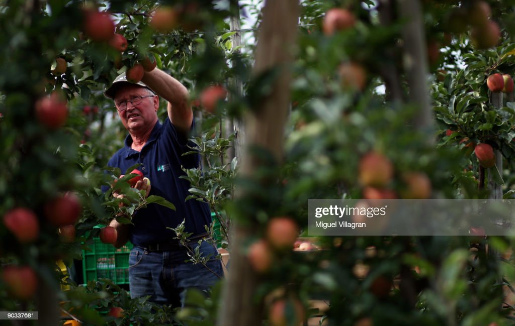 Farmer Franz Krammer picks apples by hand during the apple harvest next to the lake Constance on September 4, 2009 in Lindau, Germany. The lake is situated in Germany, Switzerland and Austria near the Alps. More then 1500 farmers grow apples in the lake Constance area.