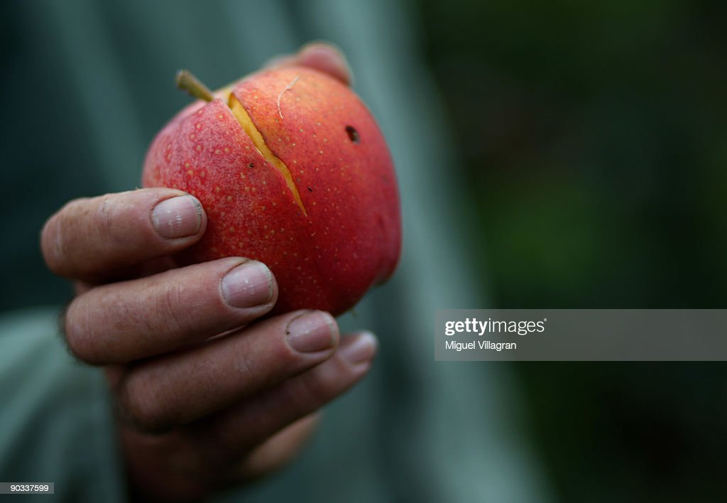 Farmer Franz Krammer shows a damaged Gala apple during the apple harvest next to the lake Constance on September 4, 2009 in Lindau, Germany. The lake is situated in Germany, Switzerland and Austria near the Alps. More then 1500 farmers grow apples in the lake Constance area.