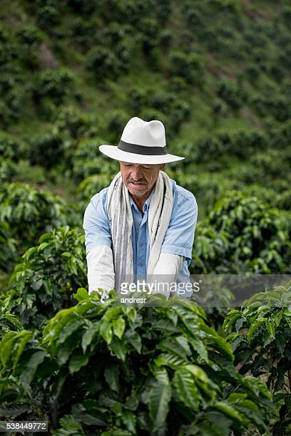 Farmer harvesting a coffee crop