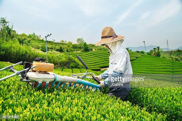 Farmer harvesting a crop of green tea leaves