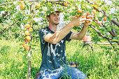 Farmer harvesting apricot