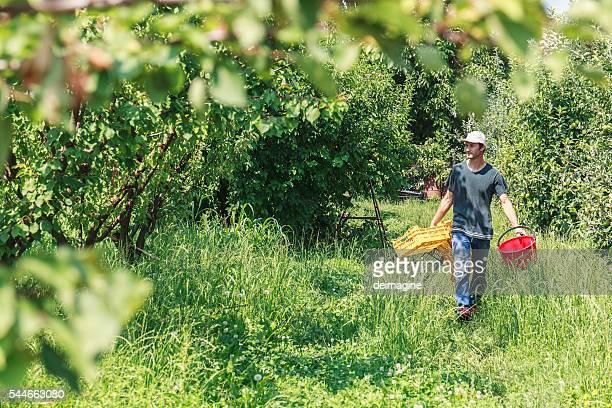 Farmer ernten Aprikose