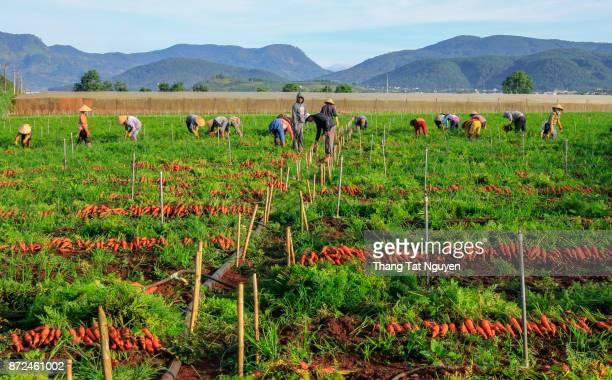 Farmer harvesting carrot on field