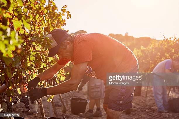 Farmer harvesting grapes on sunny day