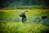 Farmer harvesting kale walking through field