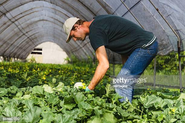 Farmer harvesting melons