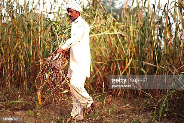 Farmer harvesting millet crop