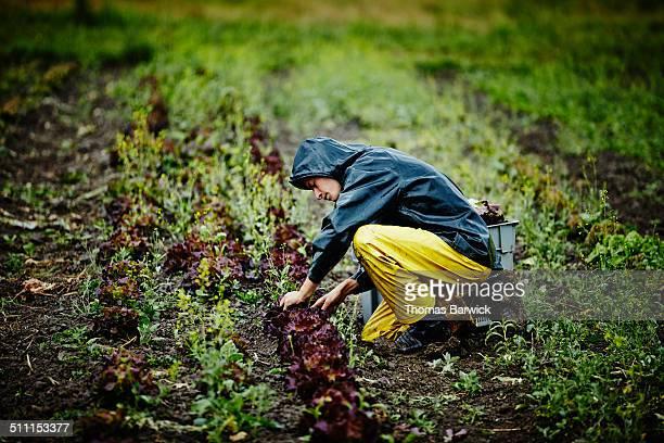 Farmer harvesting organic lettuce on farm