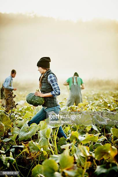 Farmer harvesting organic squash with coworkers