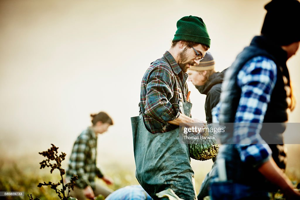 Farmer harvesting organic squash with coworkers : Stock Photo