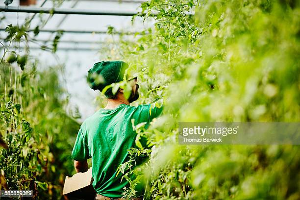 Farmer harvesting organic tomatoes in greenhouse