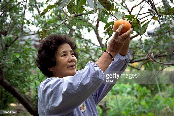 Farmer harvesting persimmon