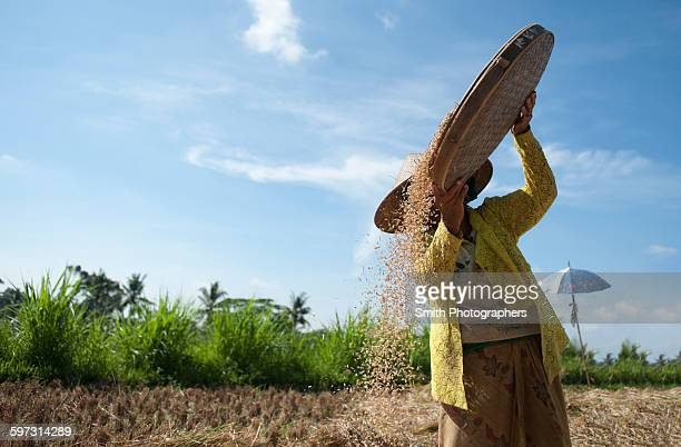 Farmer harvesting rice in rural field