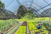 Farmer harvesting salad