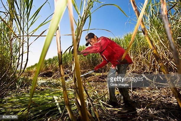 Farmer harvesting sugar canes in a field, Tamasopo, San Luis Potosi, San Luis Potosi State, Mexico