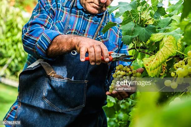 Farmer harvesting the grapes in a vineyard