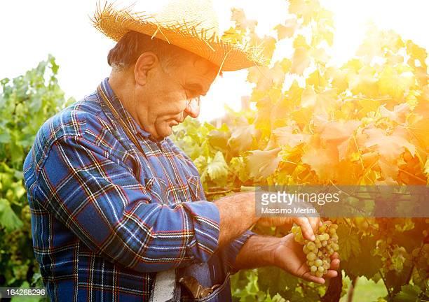 Agricoltore raccolta della uva