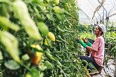 Farmer harvesting tomatos