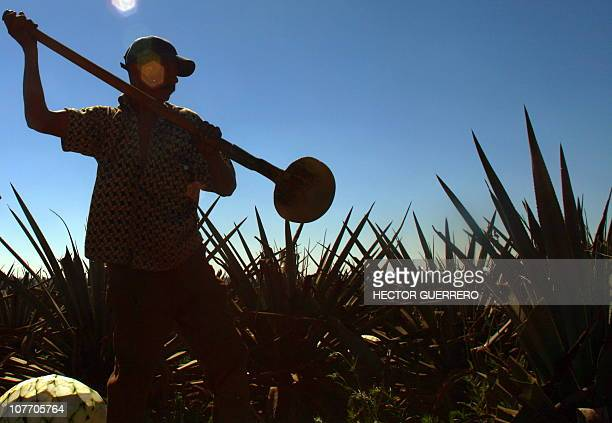A farmer harvests a blue agave plant for the production of tequila in Arandas Jalisco State Mexico on December 16 2010 In the last 20 years tequila...