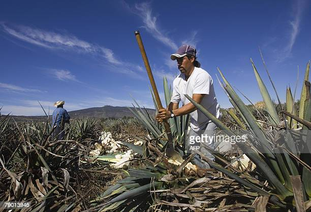 A farmer harvests a blue Agave plant for the production of tequila in Arandas Mexico 11 January 2008 In the last 15 years tequila ceased to be...