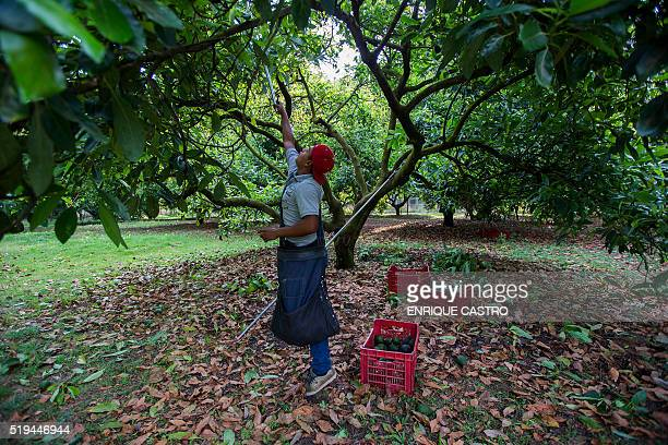 A farmer harvests avocado at an orchard in Uruapan municipality Michoacan State Mexico on April 6 2016 Since the oil sector was affected by the drop...