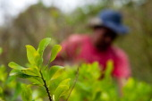 A farmer harvests coca leaves in a coca plantation in the mountains of the department of Cauca Colombia on June 21 2012 The department of Cauca was...