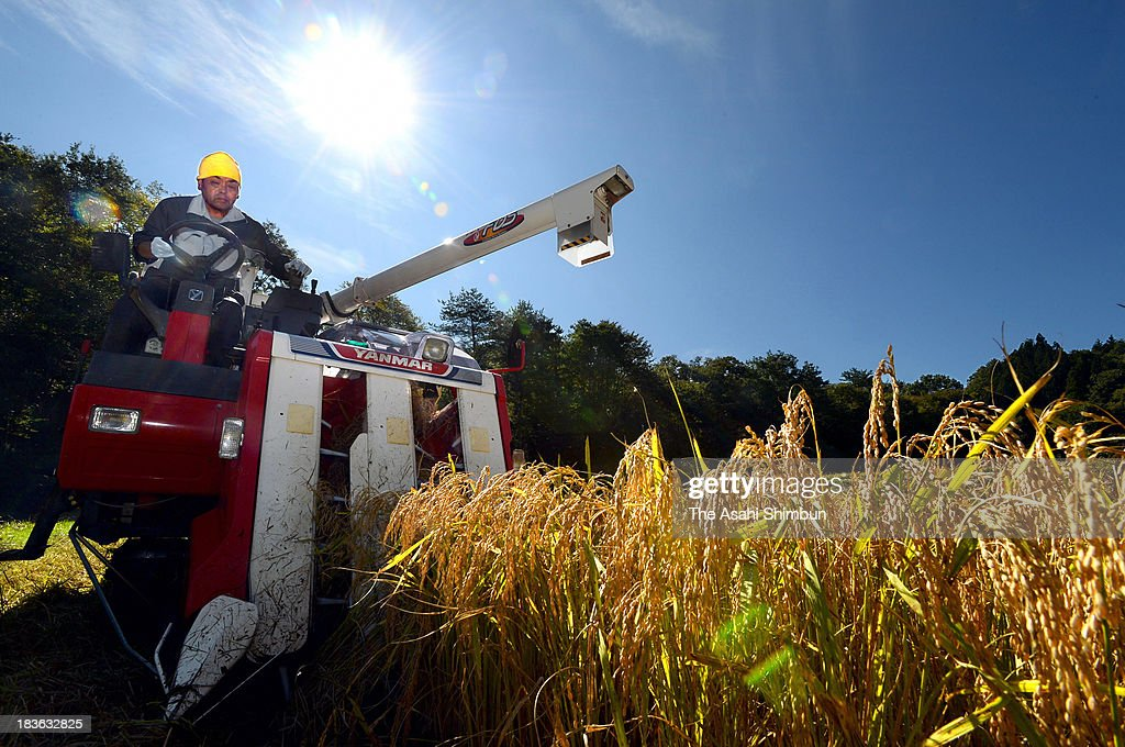 Farmer Hisao Tsuboi crops rice with a combine harvester for the first time after the nuclear accident in 2011 on October 8, 2013 in Tamura, Fukushima, Japan. The rice from the area, former exclusion zone within 20-kilometre from the crippled Fukushima Daiichi Nuclear Power Plant will be the Japanese government's stockpiled rice after checked the radiation level. The decontamination of the residences of the area had been completed in June.