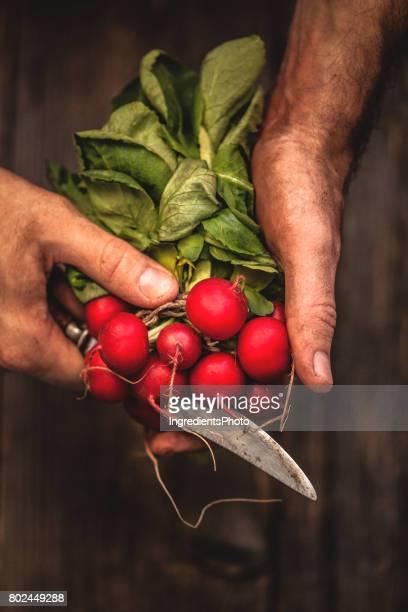 Agriculteur tenant un tas de radis frais.