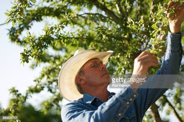 farmer holding almond branch