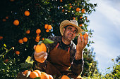 Farmer holding fresh oranges and checking them for illness and growth in orange trees orchard