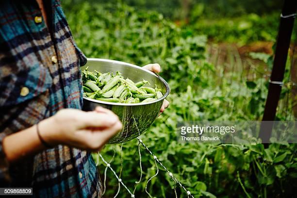 Farmer holding bowl of fresh organic peas