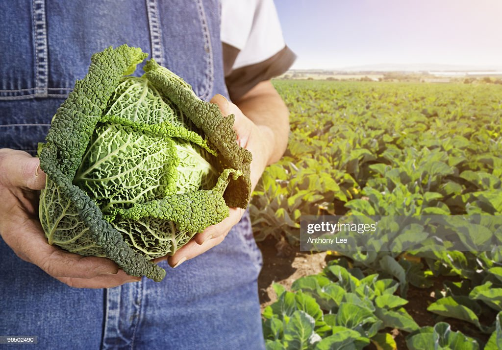 Farmer holding cabbage : Stock Photo