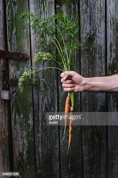 Farmer holding fresh carrots